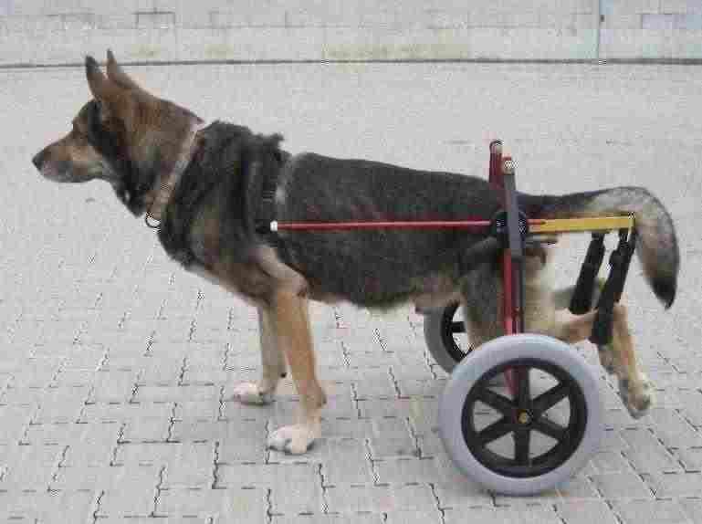 Carrello ortopedico per cani 2
